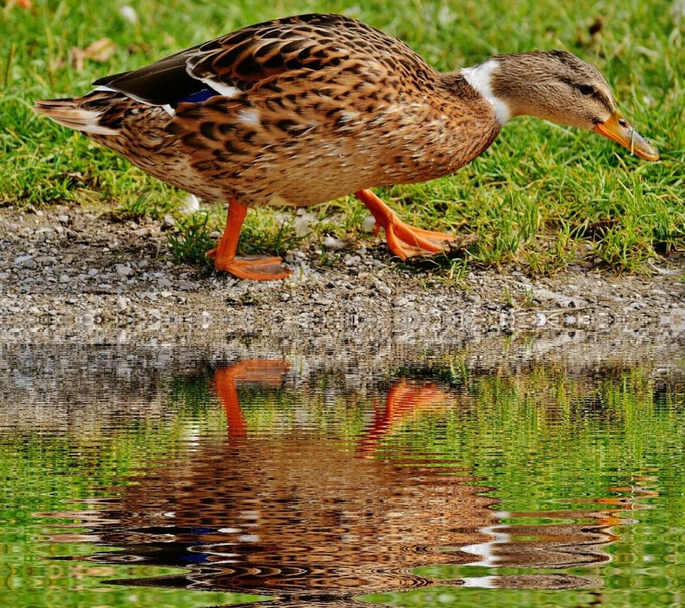 duck-1577167_1280
